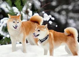 模样聪明的秋田犬图片欣赏