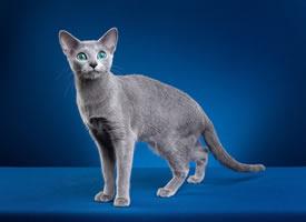 俄罗斯蓝毛猫图片