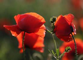 鲜艳唯美的罂粟花图片桌面壁纸
