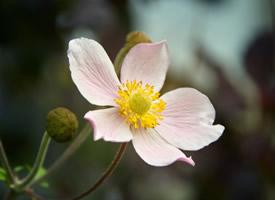 朴素唯美的银莲花图片欣赏
