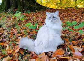 一只比利时的西伯利亚森林猫,神仙喵仙女