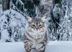 在温哥华林间雪地上漫步的西伯利亚森林猫