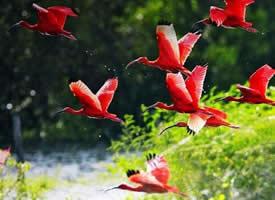 极品红色鸟类——红鹮