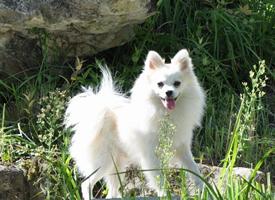 一组德国狐狸犬图片欣赏