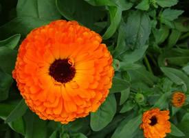 清新美丽的万寿菊花图片
