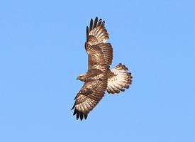 空中漂移的老鹰图片