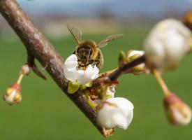 停在花上采蜜的蜜蜂图片