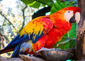 羽毛特别漂亮的猩红金刚鹦鹉图片