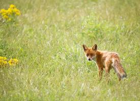 灵敏可爱的狐狸图片