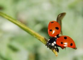 七星瓢虫实拍高清图片