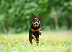 一组可爱的黑色小鹿犬图片