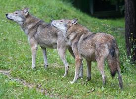 凶狠残暴的野狼图片欣赏