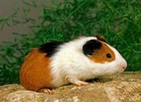 一组红色荷兰天竺鼠图片