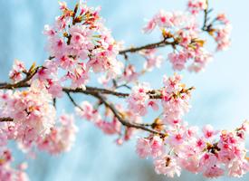 唯美迷人的樱花风景桌面壁纸