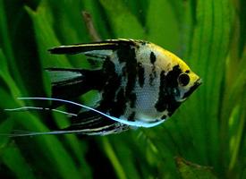 热带宠物神仙鱼图片