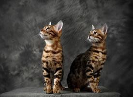 仿佛在照镜子的双胞胎喵