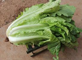 一颗新鲜大白菜图片欣赏