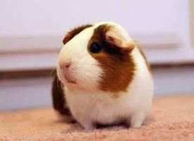 只吃素食的天竺鼠图片