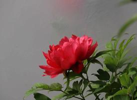 一组花开富贵的牡丹图片