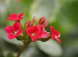 单瓣经典红色长寿花图片
