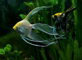 美丽的神仙鱼图片