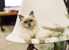 懒洋洋的暹罗猫图片