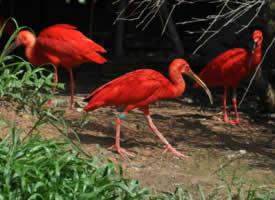 美丽的红鹮鸟图片