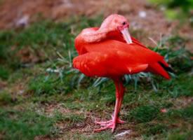 世界上颜色最红的鸟——红鹮