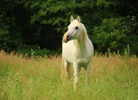 温柔可人白色的马图片