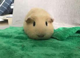 一组可爱小耳朵的英种天竺鼠