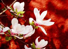 优良的观赏树种二乔玉兰花图片大全