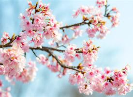 唯美樱花高清桌面壁纸
