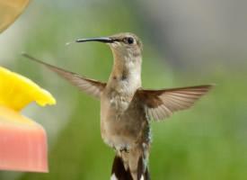 优雅敏捷的小蜂鸟图片