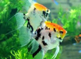 漂亮好看的神仙鱼图片