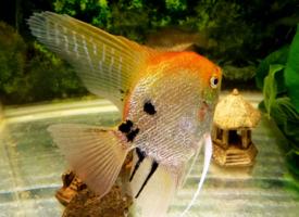 一组神仙鱼图片欣赏