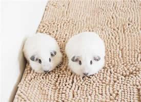 一组可爱的白色黑眼天竺鼠