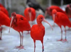 美丽的美洲红鹮图片欣赏