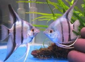 可爱的神仙鱼图片