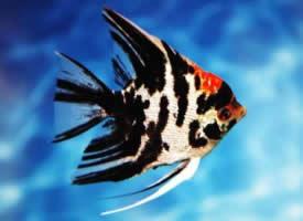 体态忧雅的神仙鱼图片