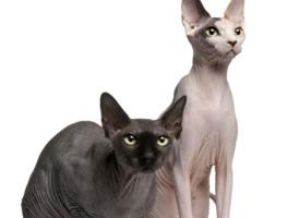 一组斯芬克斯猫图片欣赏
