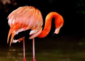 神态优雅的火烈鸟图片