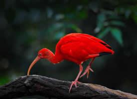 艳丽好看的红鹮图片