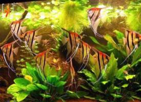 一组欢快的神仙鱼图片