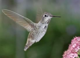 体型娇小的蜂鸟图片