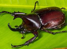 力大无比的犀牛甲虫图片