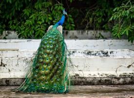 羽毛艳丽的孔雀图片欣赏