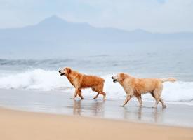 一组在海边玩耍的金毛狗狗