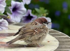 一只小麻雀高清图片欣赏