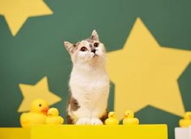 一组小短腿可爱的小猫咪图片