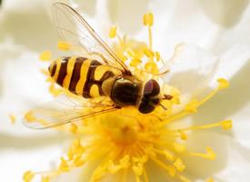 真实蜜蜂采蜜高清图片